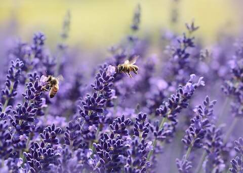 image of bees working by flowers